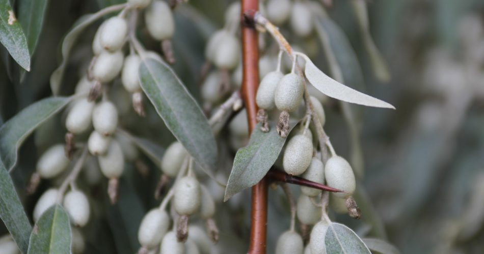 is olijfolie gezond